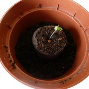 выращивание рассады пепино