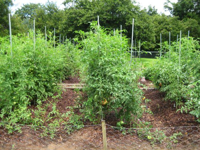подвязка томатов к колышкам