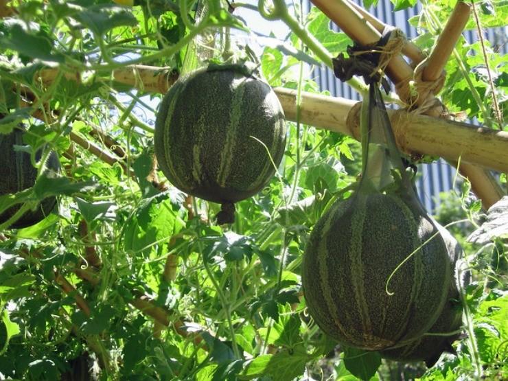 плоды дыни в сетке из капрона