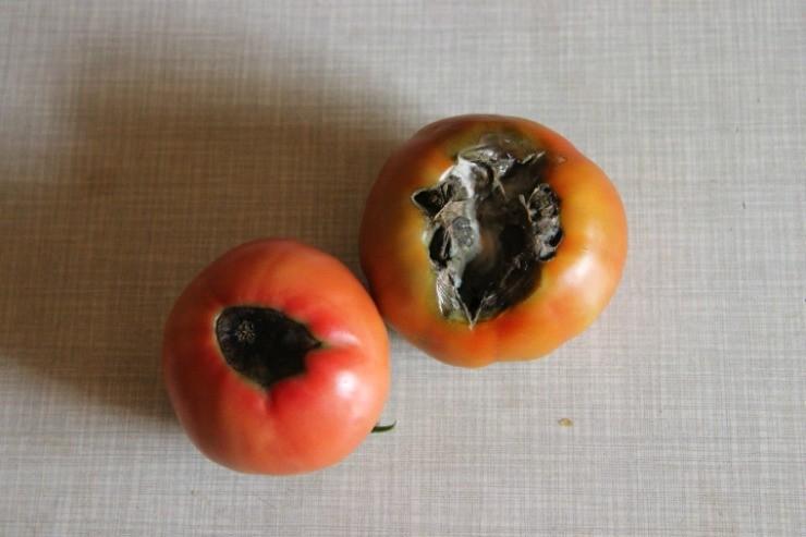 вершинная гниль на плодах томатов