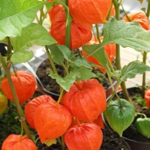 растение декоративного физалиса