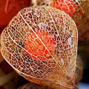 плод декоративного физалиса