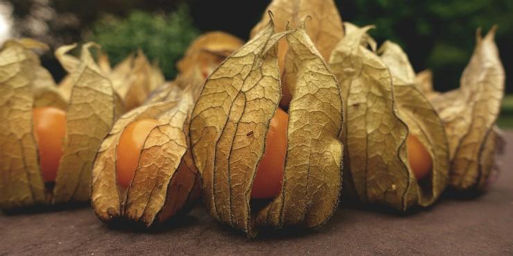 плоды декоративного физалиса