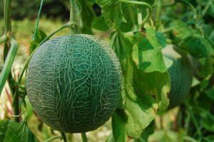 плод дыни