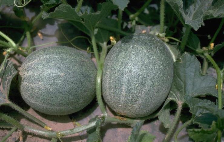 плоды дыни на нетканке