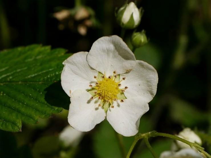 цветок земклуники