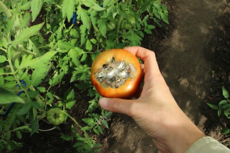 плод томата с вершинной гнилью