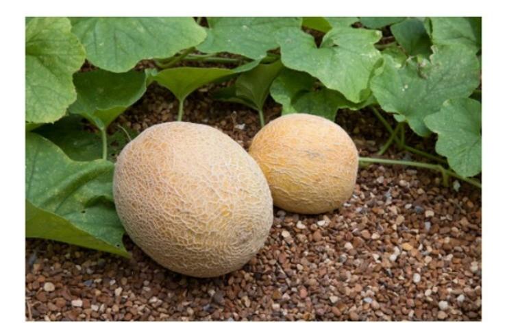 зрелые плоды дыни