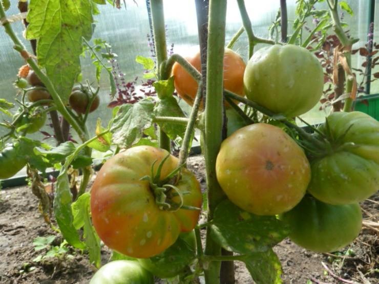 томаты после некорневой подкормки