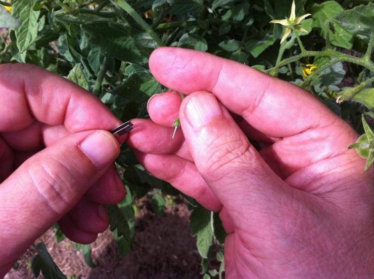 ручное опыление цветков томата