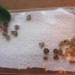 сухая стратификация семян