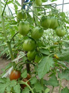 некорневые подкормки томатов
