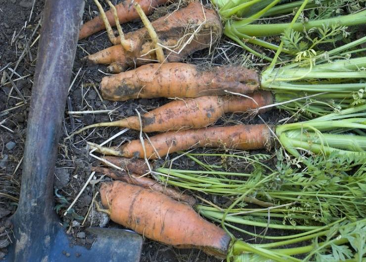 урожай морковки после выкопки