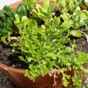 выращивание овощей в горшках