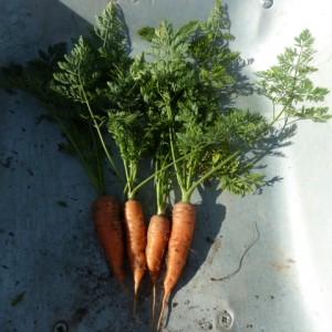 сорт моркови Канада