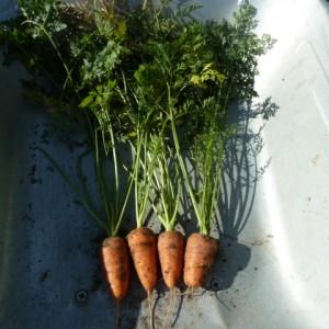сорт моркови Роте ризен (Красный Великан)