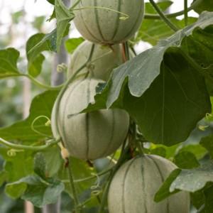 выращивание дыни на подоконнике
