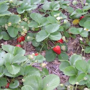 выращивание клубники на сене