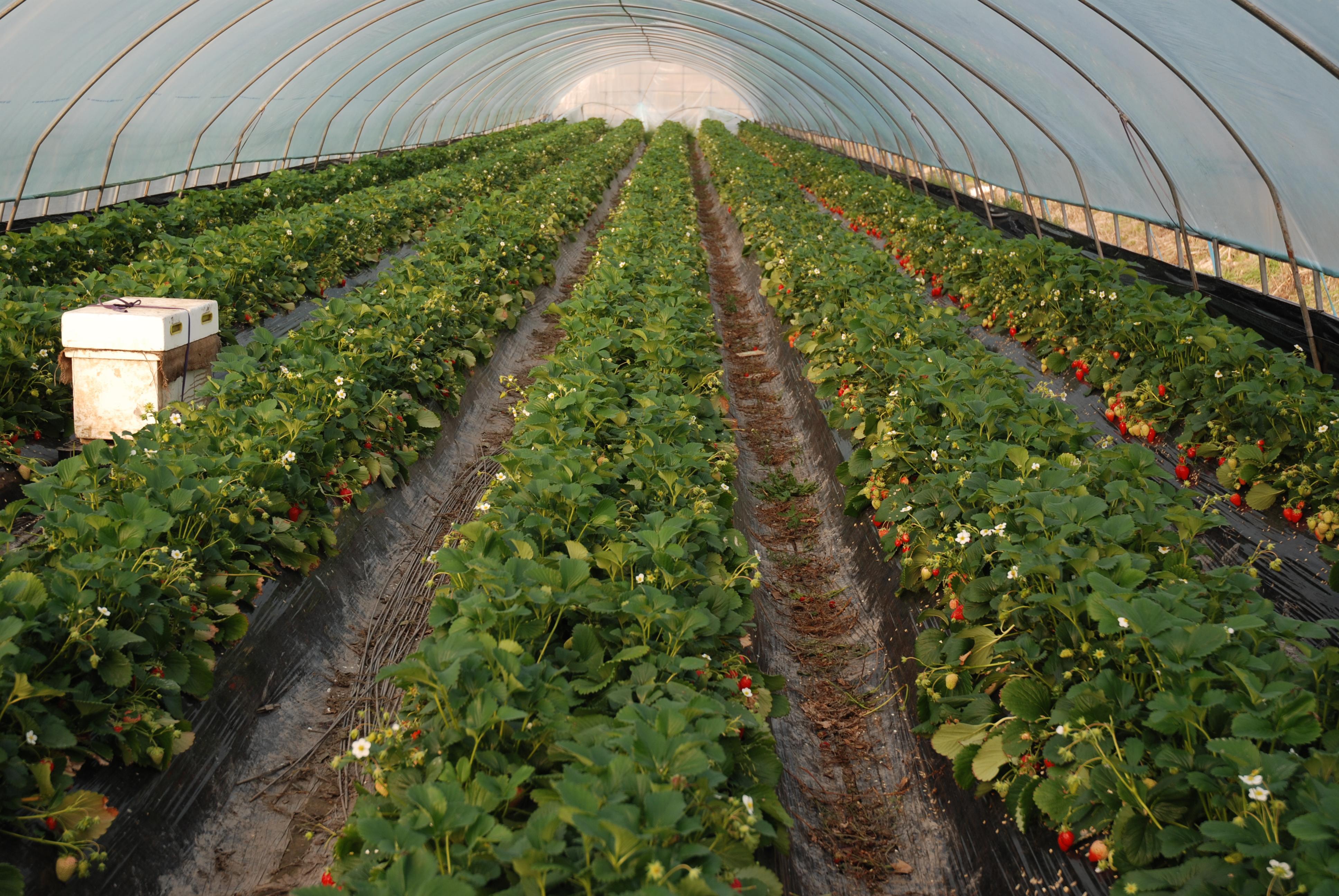Как выращивать клубнику в теплице