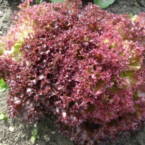 сорта красного салата
