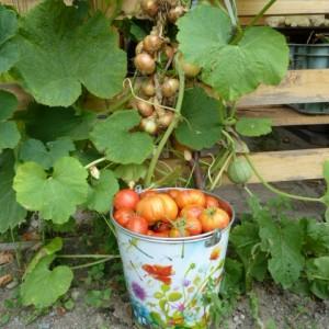 выращивание томатов в траншее