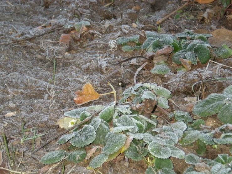 клубника вымерзла