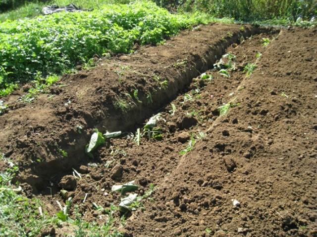 траншея для посадки томатов