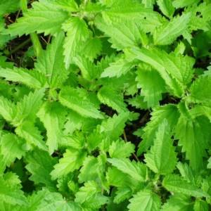 сорные растения крапива