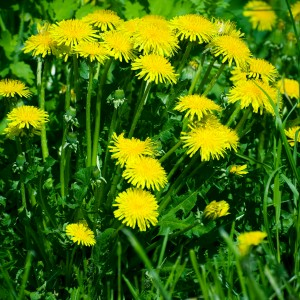 сорные растения одуванчики