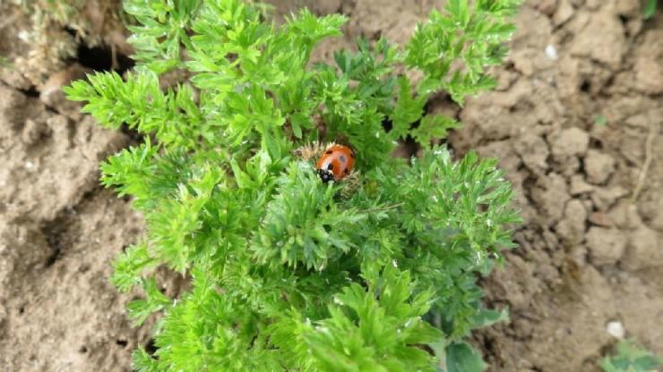 морковная тля