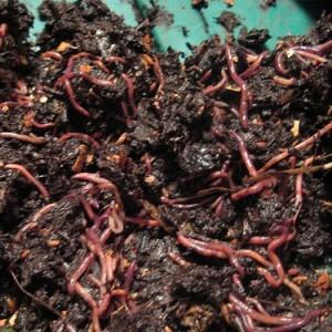 выращивание навозного червя
