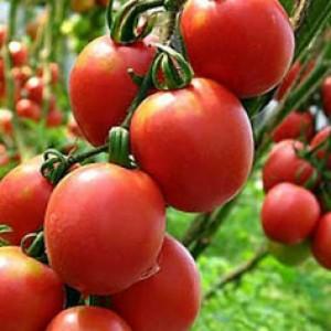 сорта томатов для теплицы, Благовест F1
