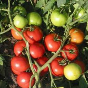 сорта томатов для теплицы, Ля-ля-фа F1
