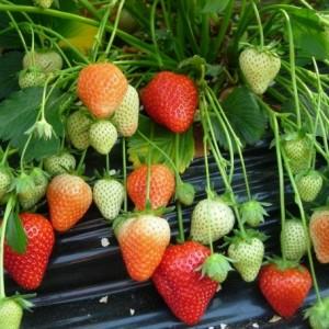 выращивание рассады клубники фриго