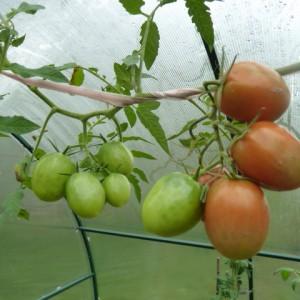 сорта томатов для теплицы, Де Барао