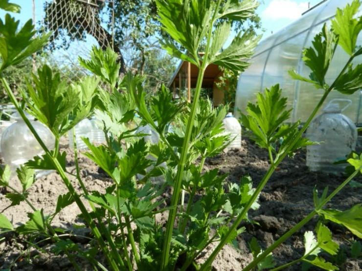 листовой сельдерей