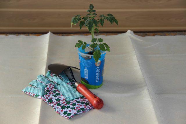 сеянец томата перед высадкой