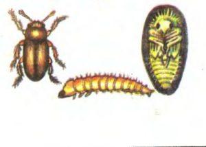 малинный жук способы борьбы