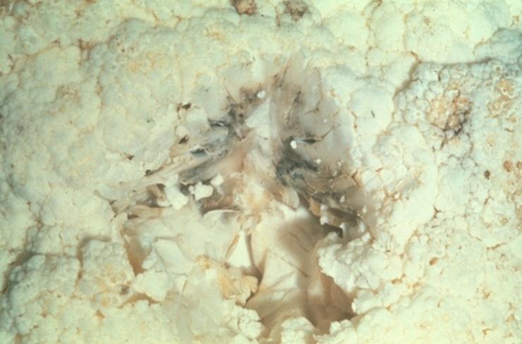бактериоз цветной капусты
