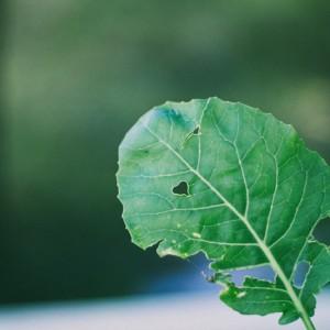 болезни и вредители цветной капусты