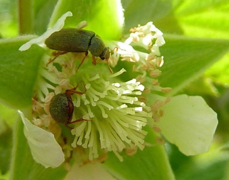 жуки на цветке малины