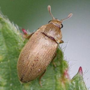 методы борьбы с малинным жуком