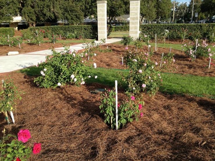 мульчирование роз сосновыми иголками