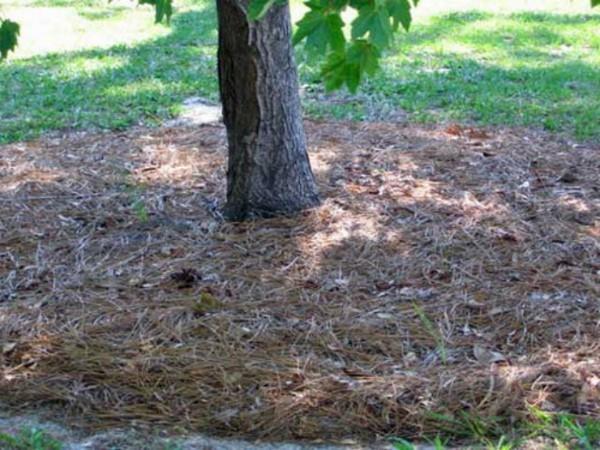 мульчирование деревьев сосновыми иголками