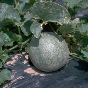 растение дыни