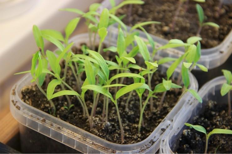 сеянцы томатов