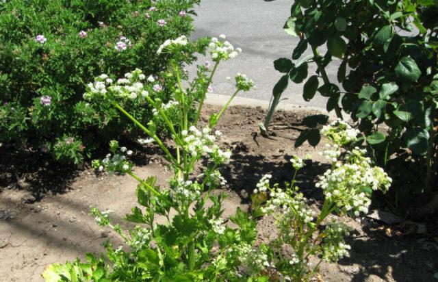 цветущий сельдерей