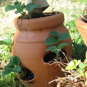 выращивание ягодных культур