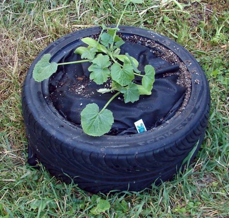 огурцы растут в шине