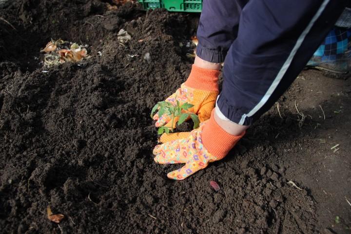 как сажать рассаду томатов в теплицу